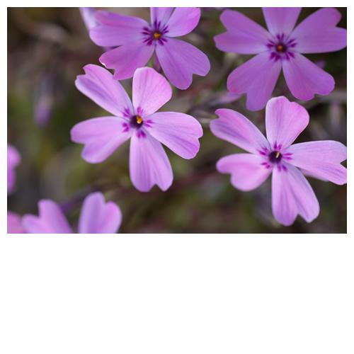 シバザクラが今年も咲いてます。