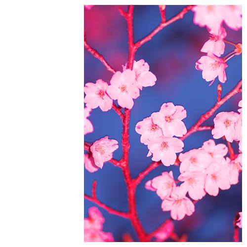 紅いフラッシュに当てられた桜