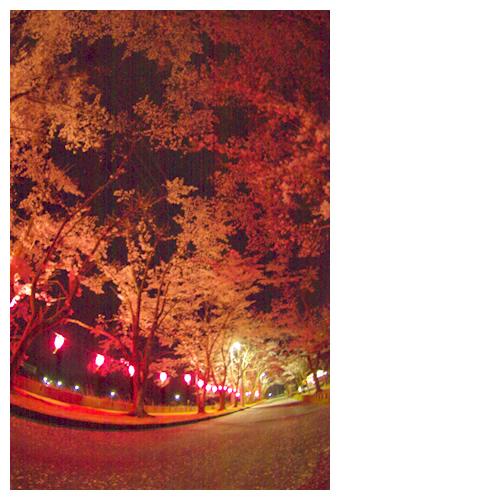 夜桜並木を歩く