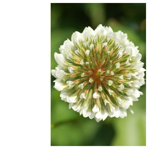 Full White Flower