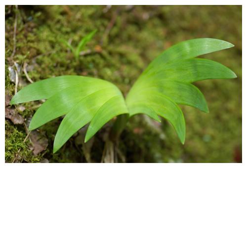 LEAF WING:緑葉の翼