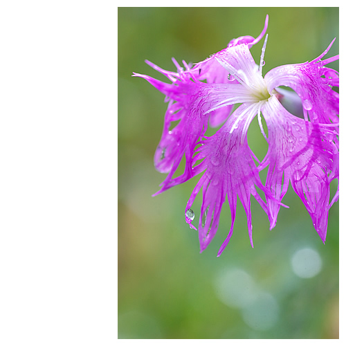 濡れ花からこぼれた光