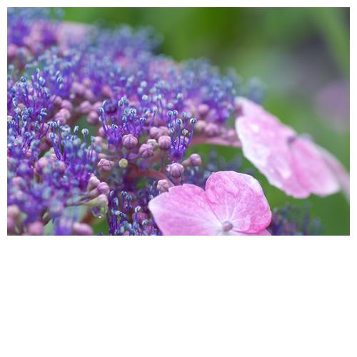 紫陽花ステージのリトル達