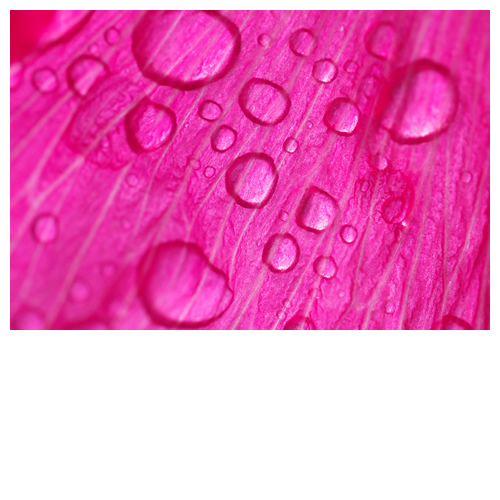 明るいピンクの花びらに水滴ポタポタ。