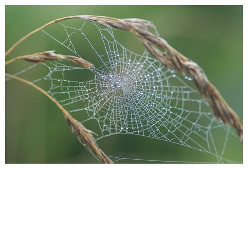 ススキに囲まれた蜘蛛の巣