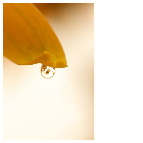 水滴に咲くルドベキア