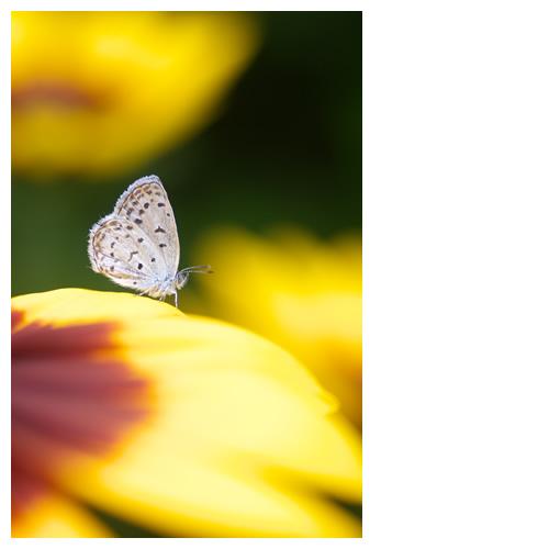 蝶とルドベキアによる『佇まい』