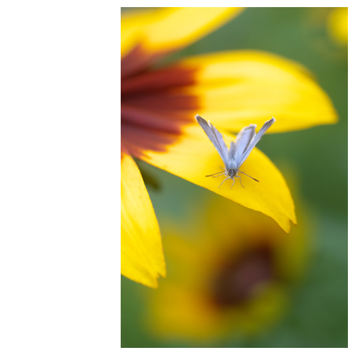 ルドベキアで休憩中の蝶々はもうすぐ飛びます。