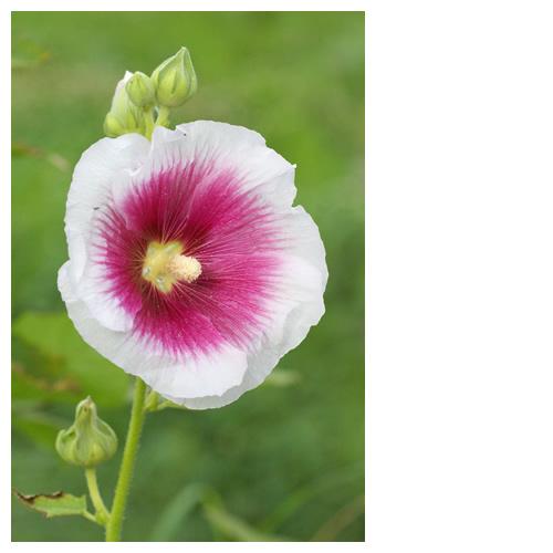 ムクゲ(木槿、槿、Hibiscus syriacus)