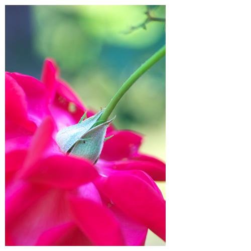 薔薇の項(うなじ)