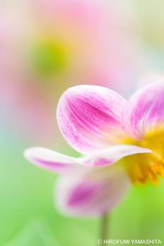 ピンク花びら