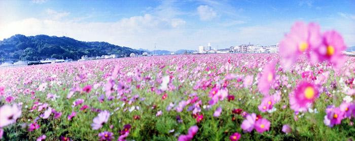 コスモス畑をHorizon Perfektで撮ったら・・・(高知市高須にて)