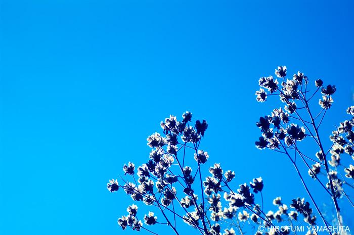 空の青に透過する植物
