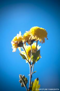 黄色の花、ひとつ