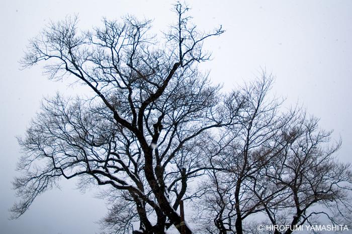 『冬のひょうたん桜』-高知県仁淀川町