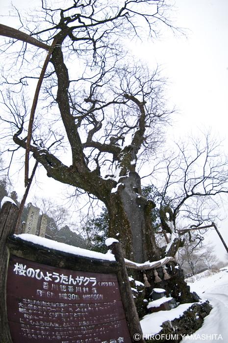 見上げて撮った『ひょうたん桜』-高知県仁淀川町