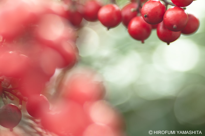 光と南天(ナンテン)の赤い実