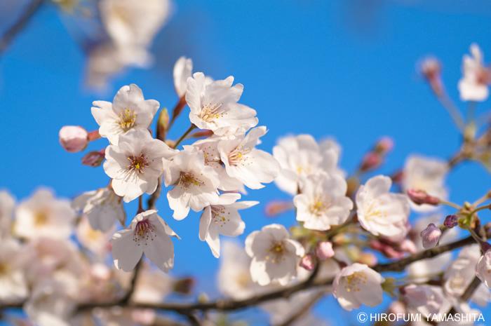 桜咲く、サクラサク。