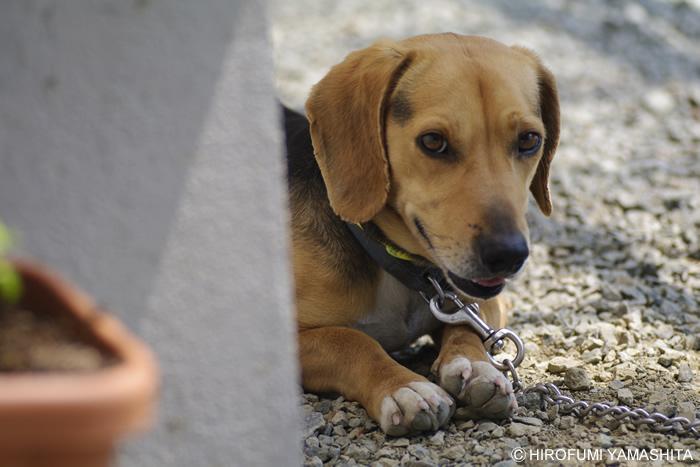 遊んで欲しいオーラのビーグル犬ルート
