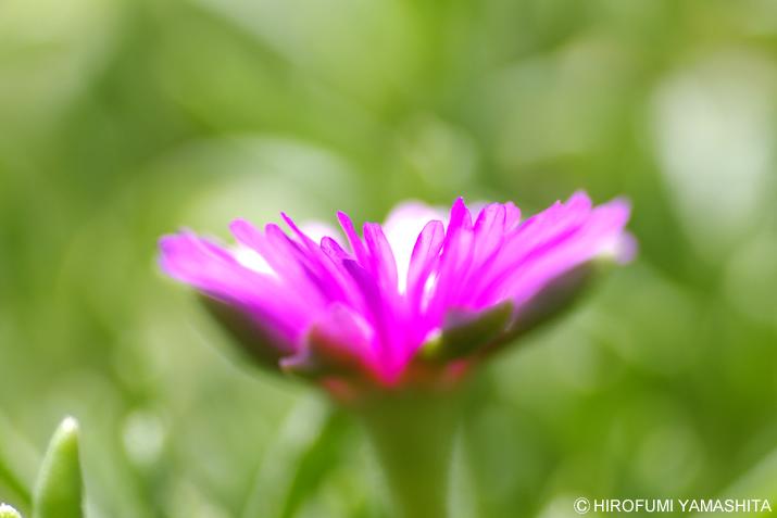 ピンクの花びらは受け皿のように