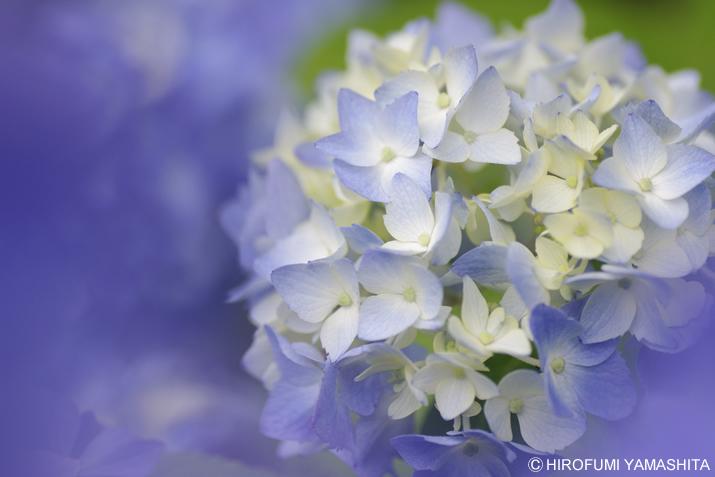 梅雨入りしたそうです、紫陽花(アジサイ)さん。白青