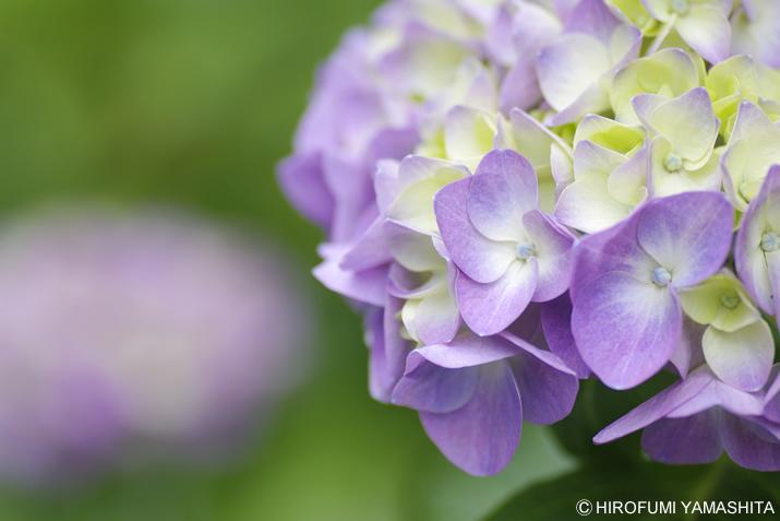 梅雨入りしたそうです、紫陽花(アジサイ)さん。紫
