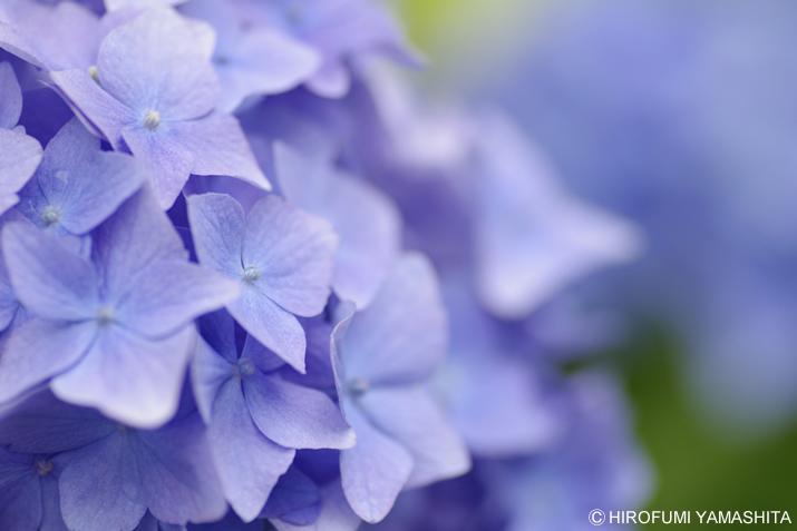 梅雨入りしたそうです、紫陽花(アジサイ)さん。blue