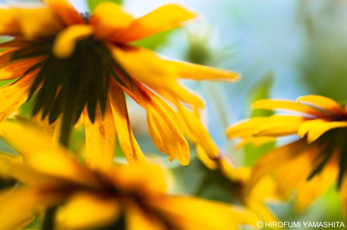 ルドベキアが咲き乱れていますよぉ。