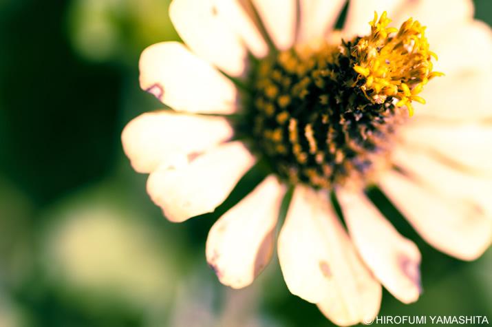 花は咲いて散るなり。