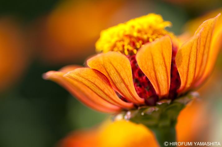花びら、にゅう~~~~ん。