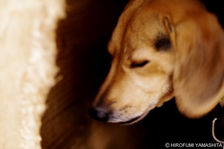 ビーグル犬ルート、瞑想中?