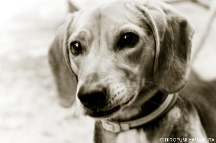 落ち着きのないビーグル犬、ルート。