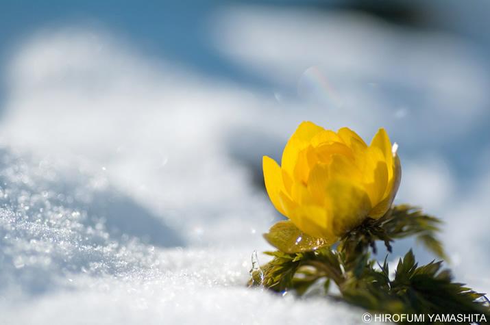 雪景色と福寿草