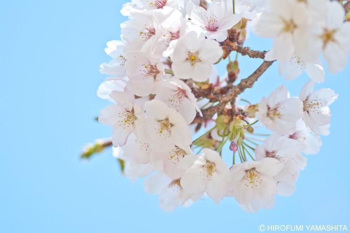 桜の花、春日和。