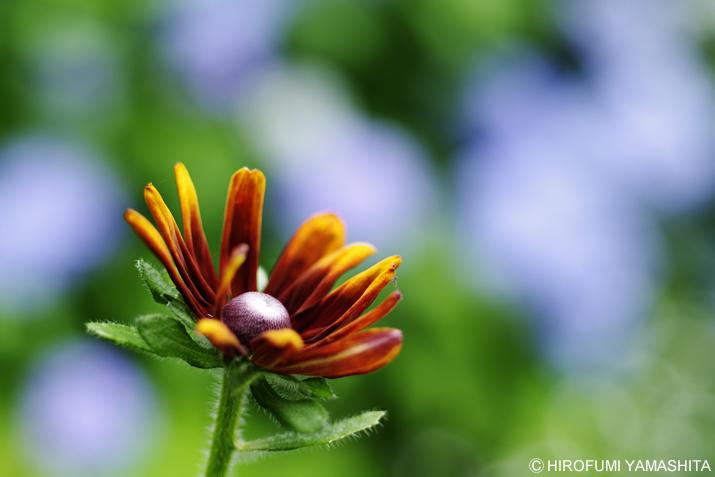 ルドベキアとその奥に咲く花は・・・