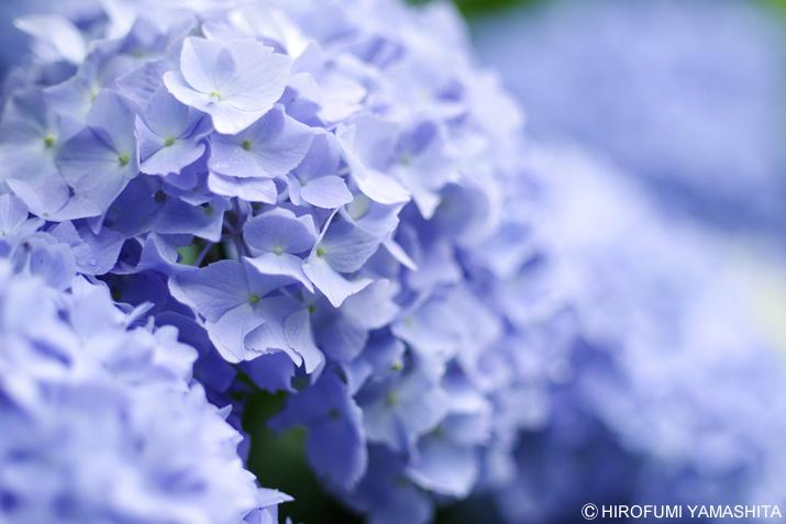 梅雨の代名詞『紫陽花(アジサイ)』