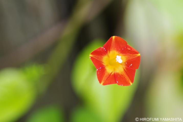 蔦から朱色の花