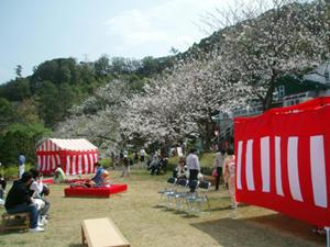 黄金崎桜祭り1