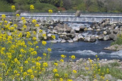 相模川と菜の花