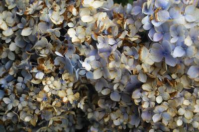錆びた紫陽花