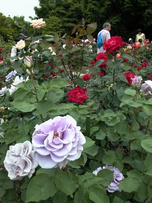 北公園のバラ