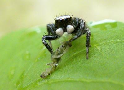 マミジロハエトリグモ