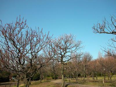 相模原北公園-梅
