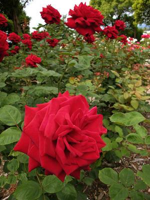 相模原北公園のバラ2