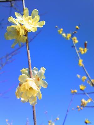 相模原北公園の臘梅