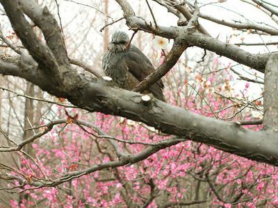 相模原北公園の梅とヒヨドリ