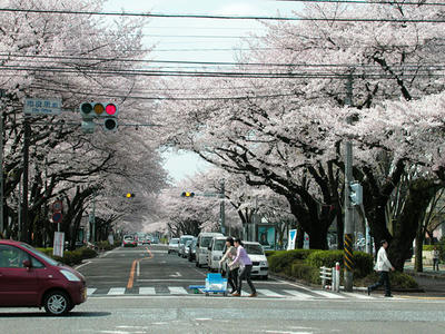 相模原市役所通りの桜