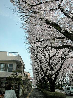 相模原の桜