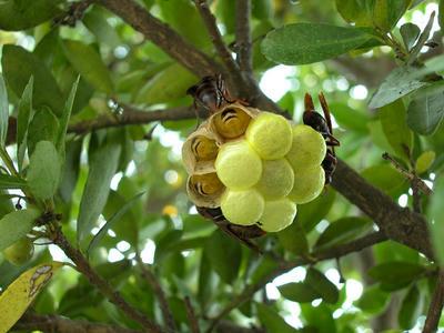キボシアシナガバチの巣を下から