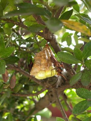 キボシアシナガバチの巣を横から